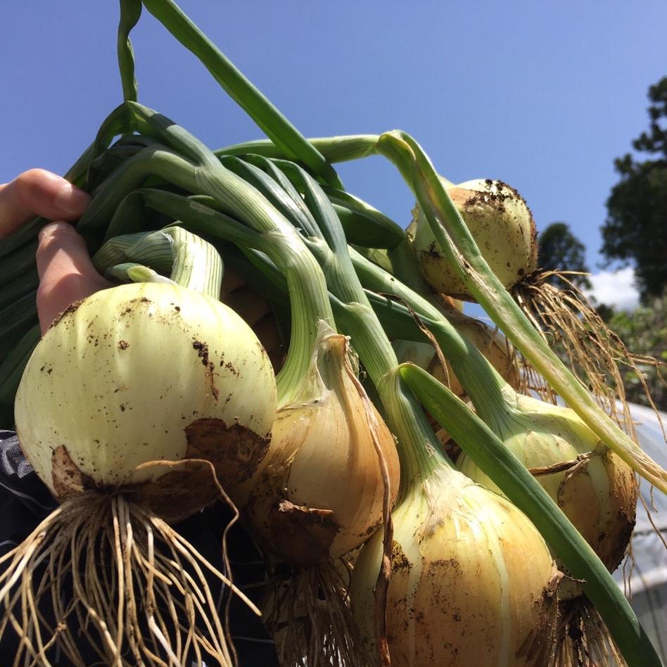ついにスタート‼️お試し新玉ネギ1.5kg🧅 1.5kg 野菜/玉ねぎ通販