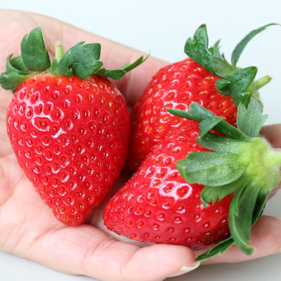 《栃木県茂木町産》 朝採れ完熟とちおとめ 4P 280g x4パック 果物/いちご通販