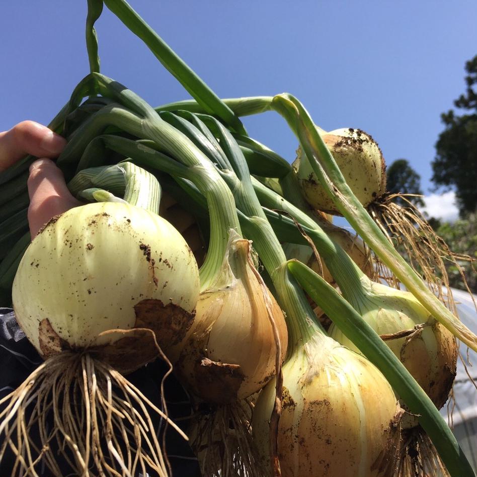 ついにスタート‼️新玉ネギ4.5kg🧅 4.5kg 野菜/玉ねぎ通販